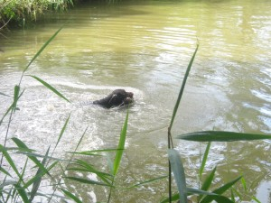 Hund bei der Wasserarbeit